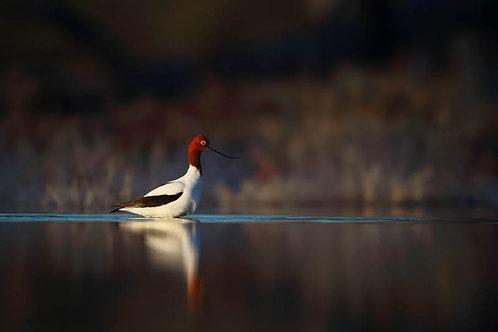 Red-necked Avocet