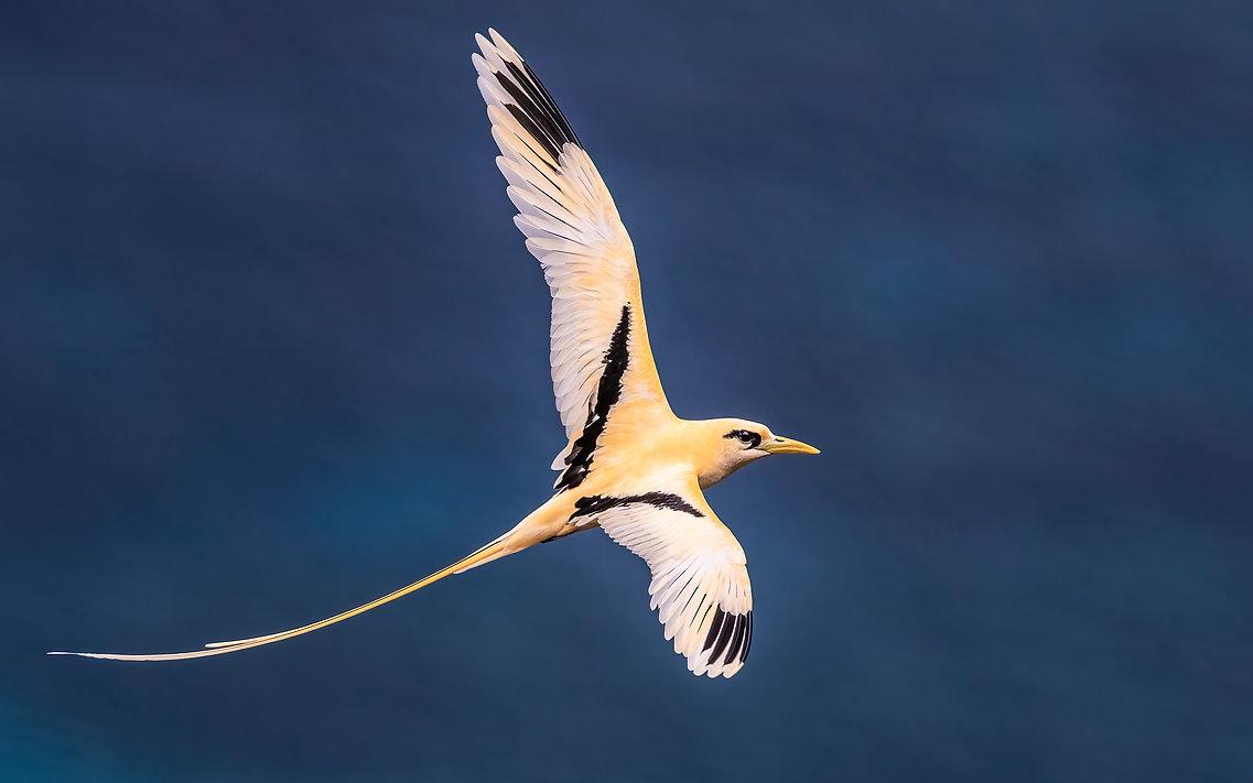 White-tailed Tropicbird (Golden Bosun( C
