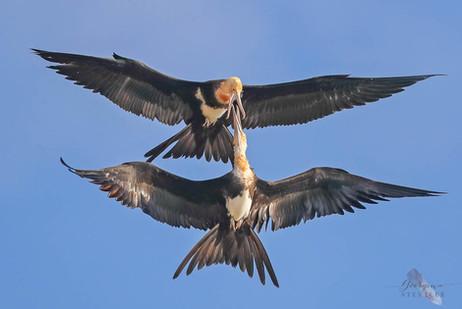Christmas Island Frigatebirds