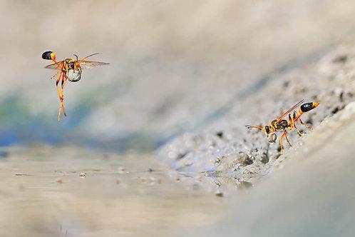 Mud-rolling Mud-dauber Wasps