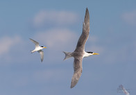 Crested Tern and Australian Fairy Tern