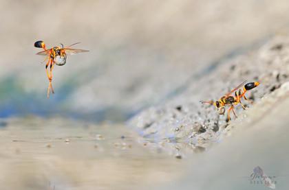 Mud-rolling Mud-dauber Wasps.jp