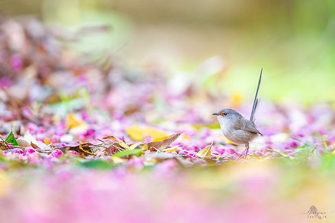 Red-winged Fairy-wren.jpg