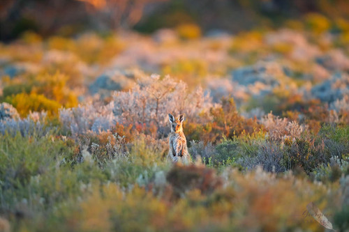 Western Grey Kangaroo - joey