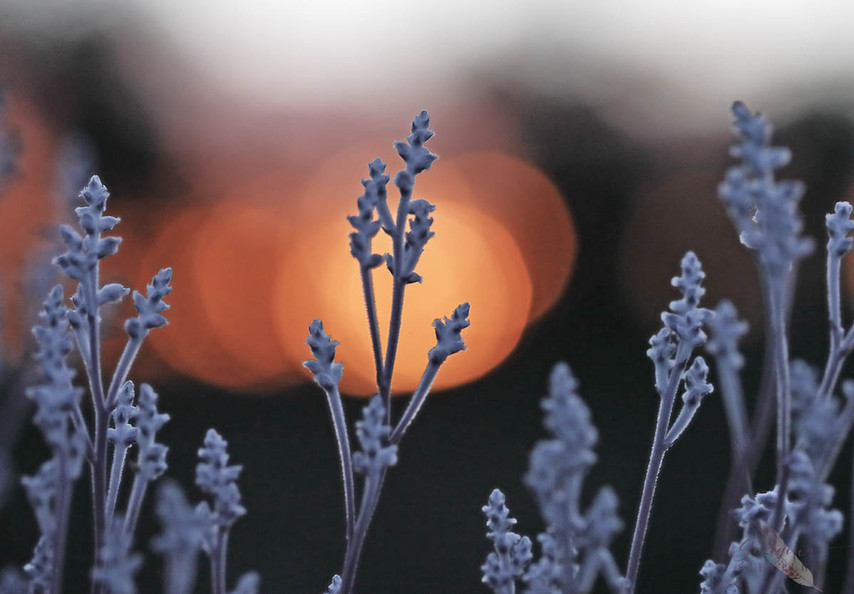 Smokebush Sunset