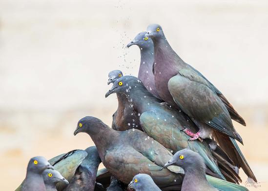 Christmas Island Imperial-pigeon-2.jpg