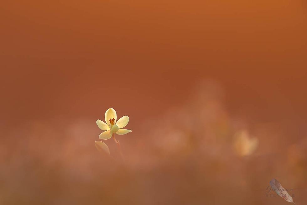 Lemon-scented Sun Orchid