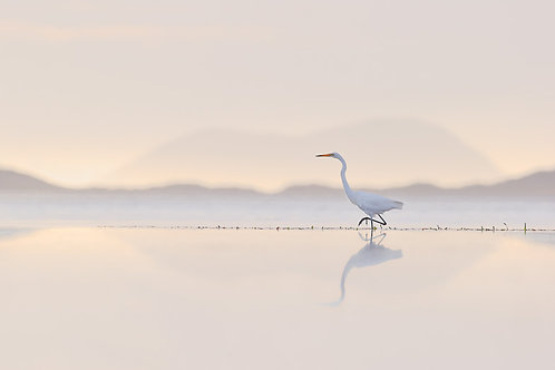Great Egret 002