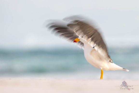 Pacific Gull Blur