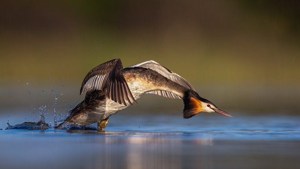 On the Attack - Great Crested Grebe-2-2.