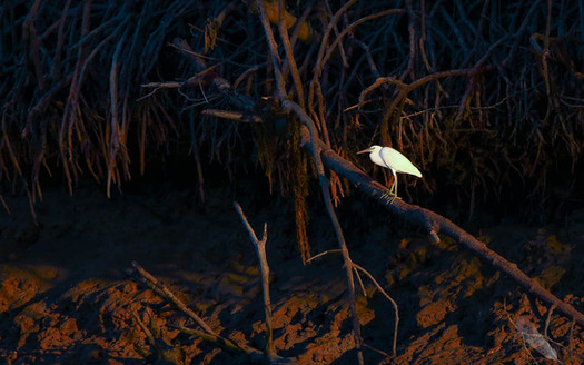Eastern Reef Egret (white morph)