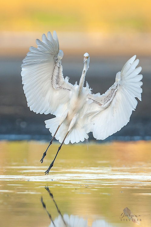 Great Egret 005
