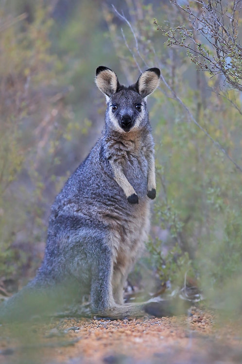 Brush-tailed (Black-gloved) Wallaby