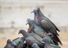 Christmas Island Imperial-Pigeons
