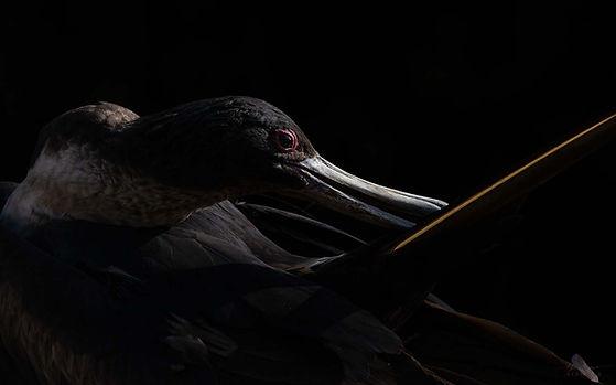 Lesser Frigatebird-2.jpg