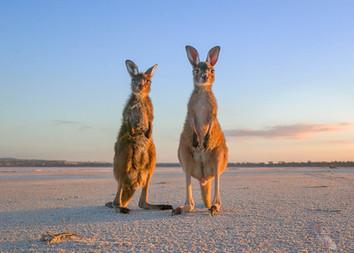The Orphans (Western Grey Kangaroo)