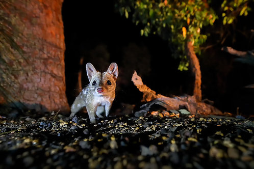 The Chuditch (Western Quoll)