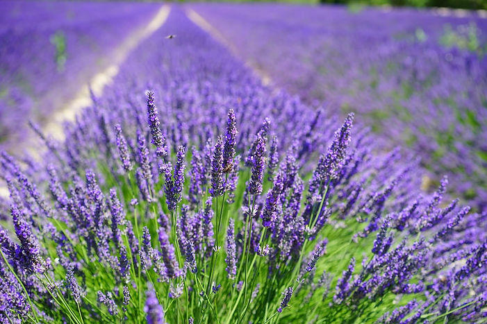 lavender-cultivation-2138398_1920.jpg