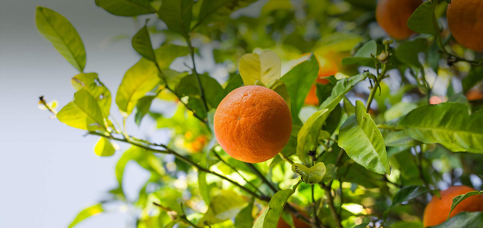 orange-tree-with-ripe-fruits-PQ4S3QH.jpg