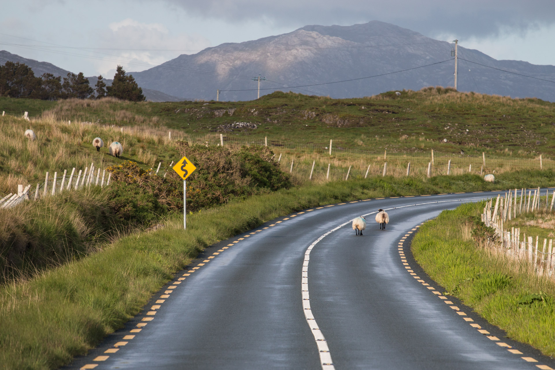 Schafe, Connemara, Irland