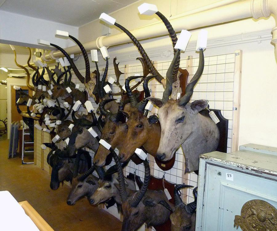 Taxidermy mammals