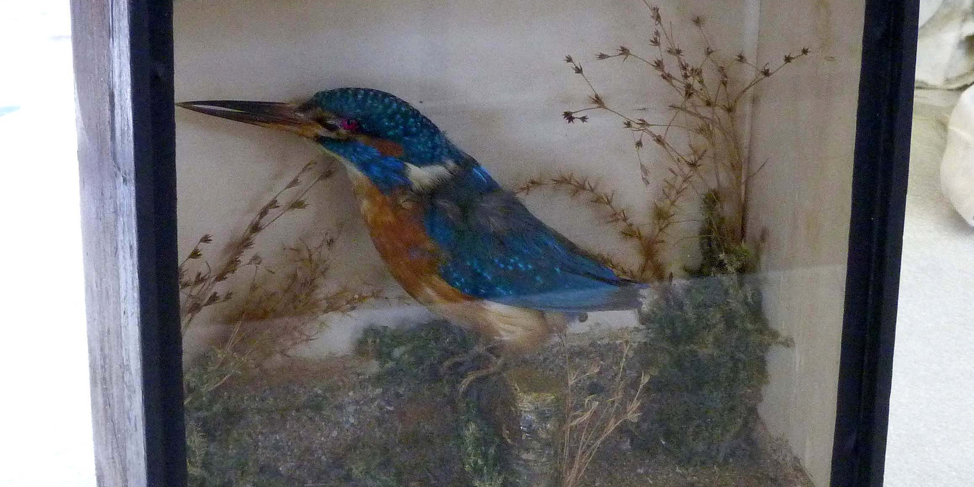 Kingfisher / taxidermy