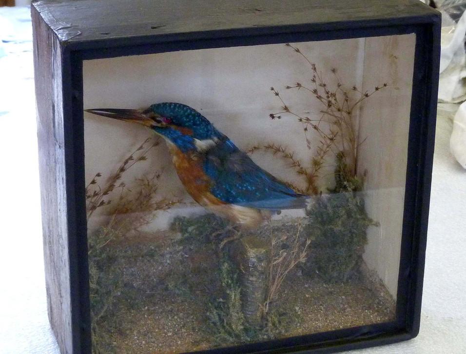 Kingfisher / taxidermy