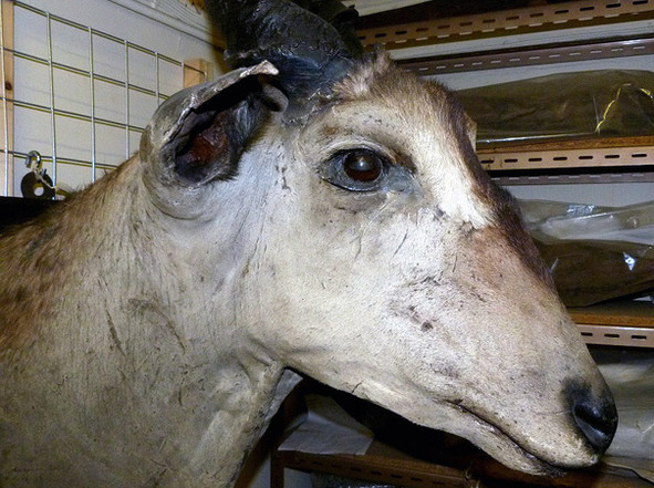 Taxidermy mammal