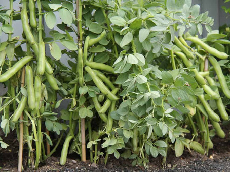 Broad beans and how to grow them!