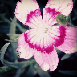 Instagram - Wild pink with tears