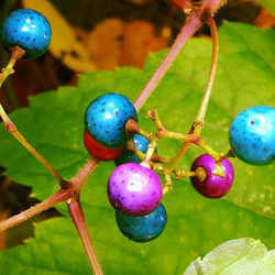 Instagram - These berries were a vivid shade of blue. Never seen before-- but le