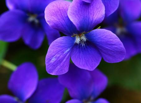 Violet Sacred Oil - a helper for Grief