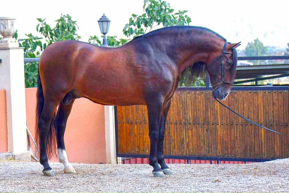 Прогулки на андалузской лошади