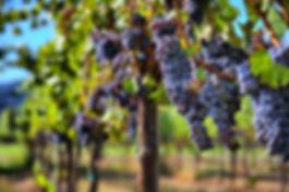 yarobltour_Merlot_Grapes_in_Vineyard_Fra