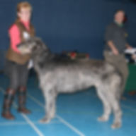 Limit Show 2015 Open Dog 3E 2abs Hazianne's Ace Ventura
