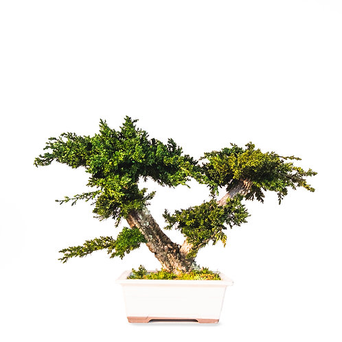 Futago | Juniperus Bonsai