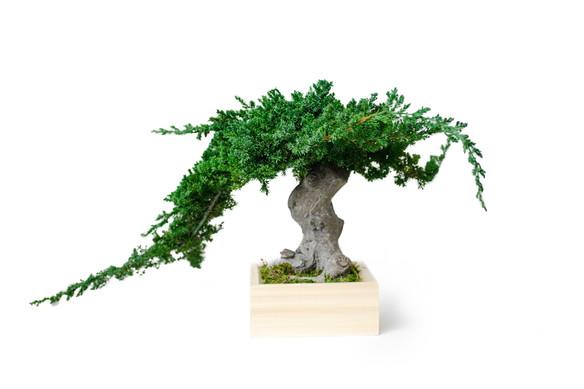 Bonsai Single Root