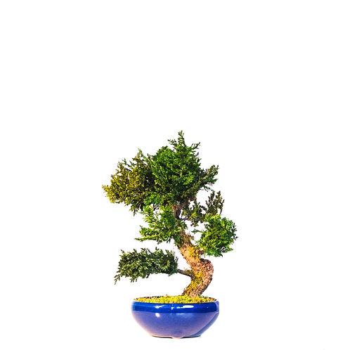 Chīsai | Juniperus Bonsai