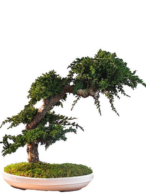 Torasuto | Juniperus Bonsai