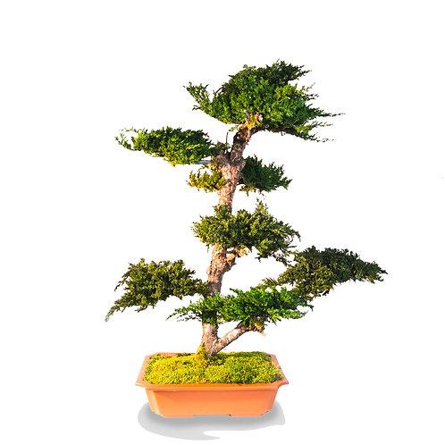 Suichoku | Juniperus Bonsai