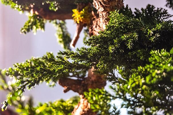 Preserved Bonsai Juniperus Procumbens -