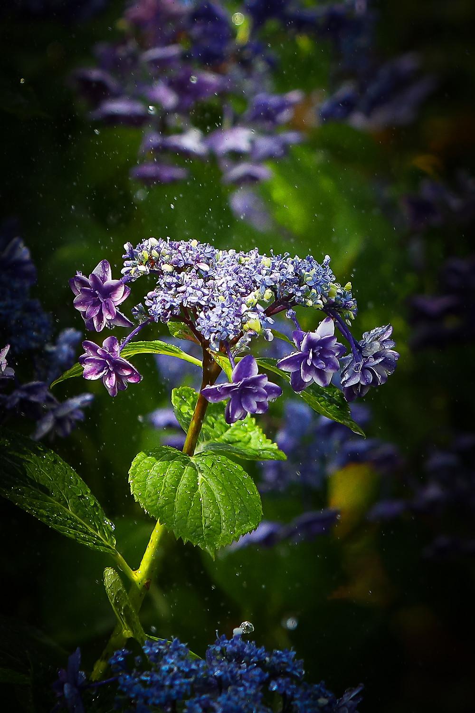 アジサイ 花