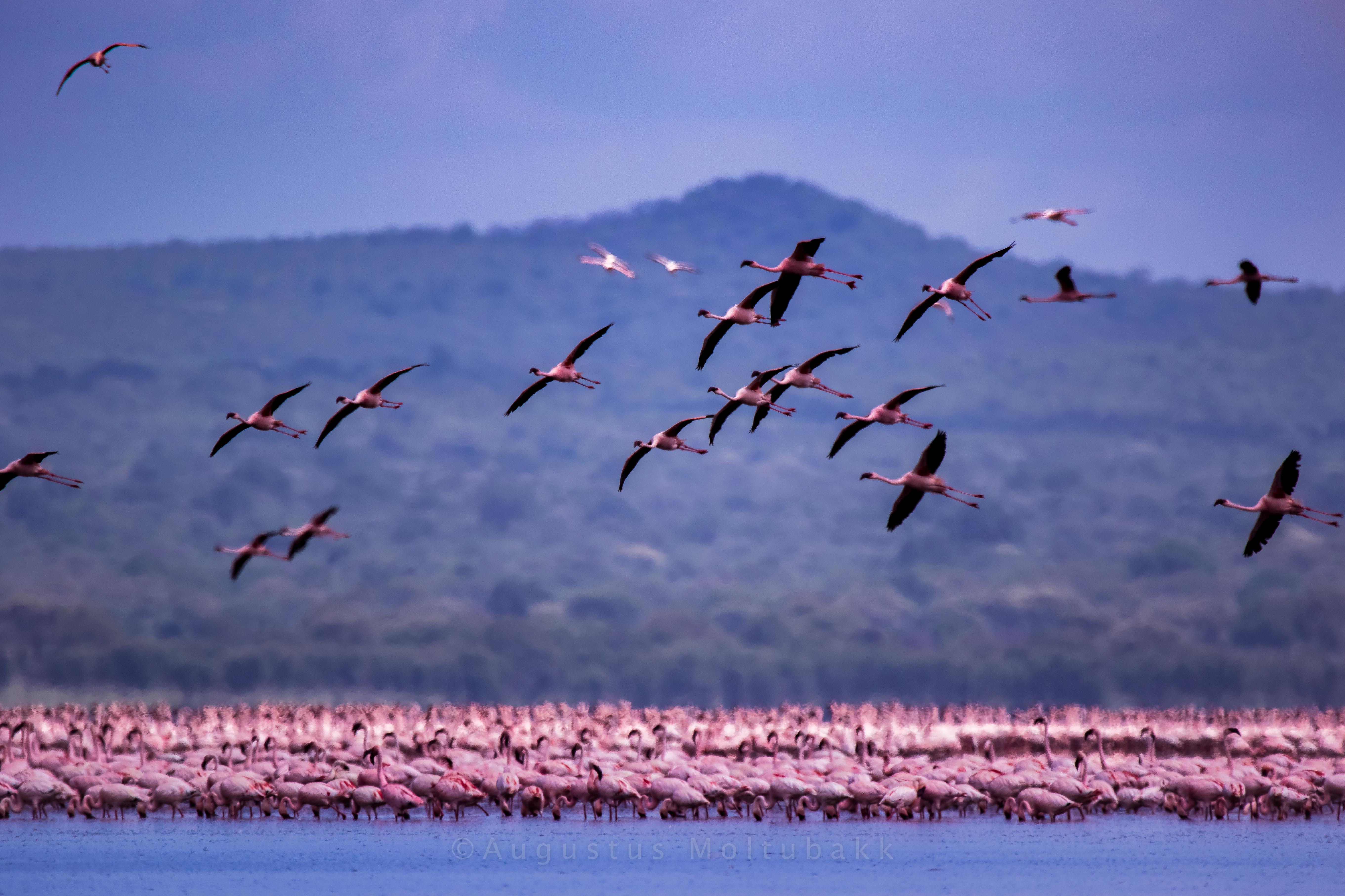 Flamingoer ved Lake Manyara