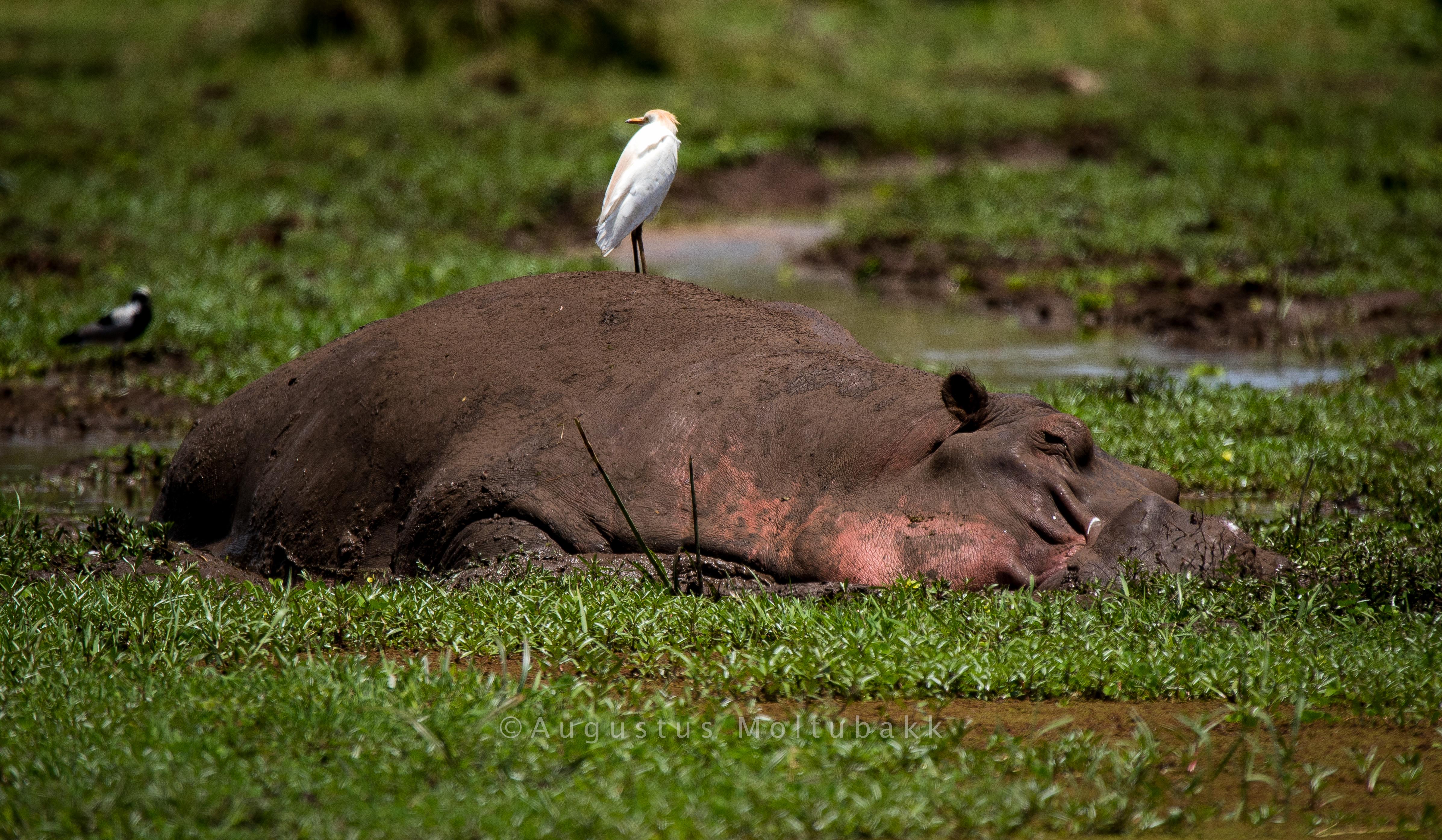 Flodhest nyter dagen i sumpen