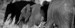 Elefanter på rekke og rad