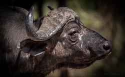 Bøffel i Tanzania