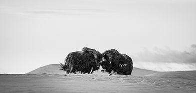 Moskus svarthvitt.jpg