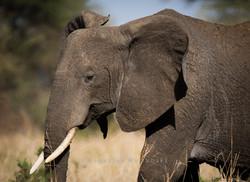 Ung hann elefant går forbi