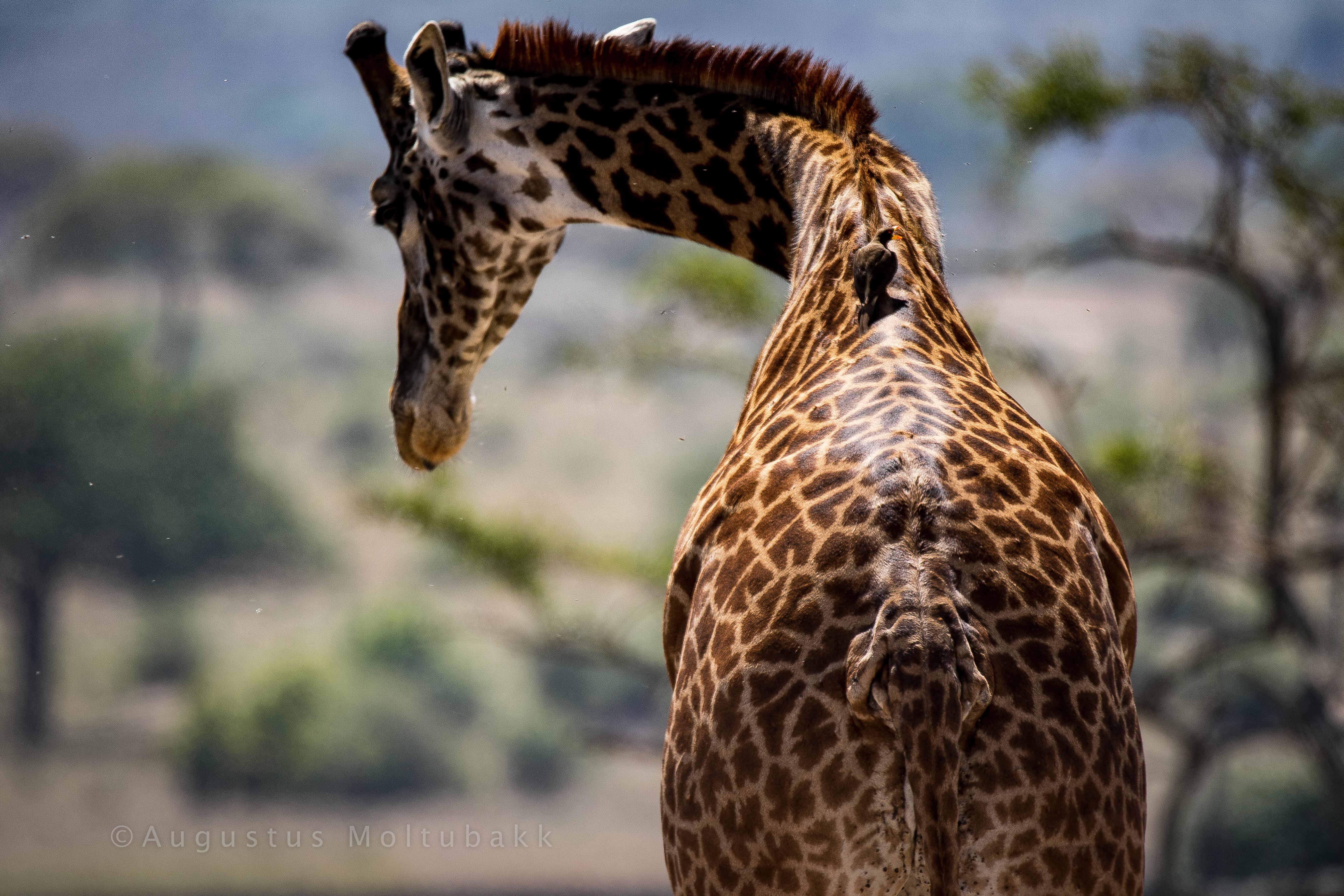 Giraff og dens maskot
