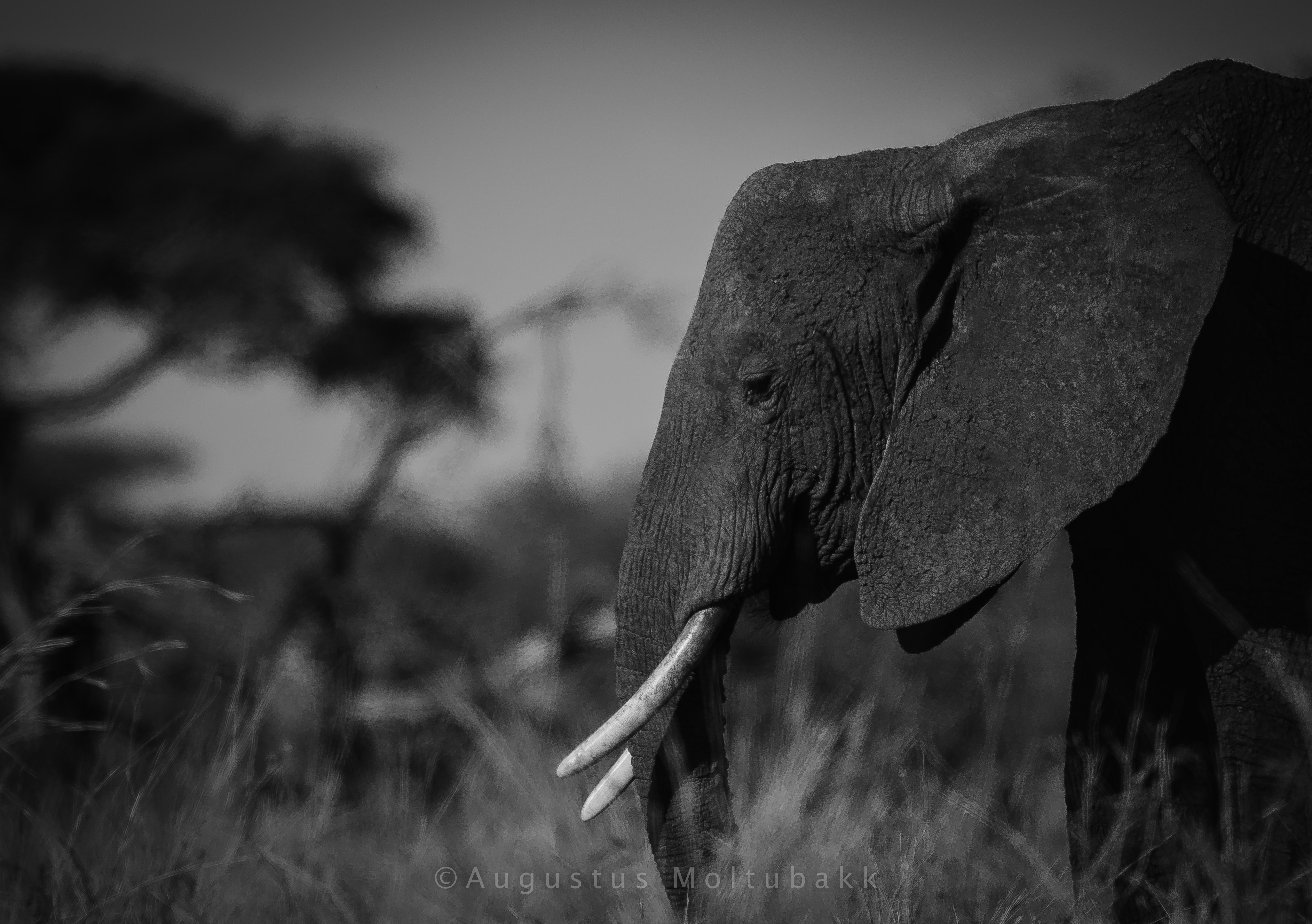 Elefant passerer camp